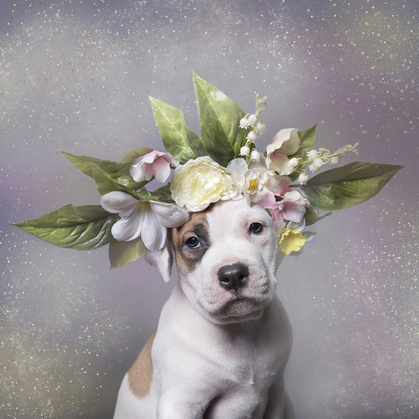 flower-power-pit-bulls-adoptable-dogs-sophie-gamand-2social-04