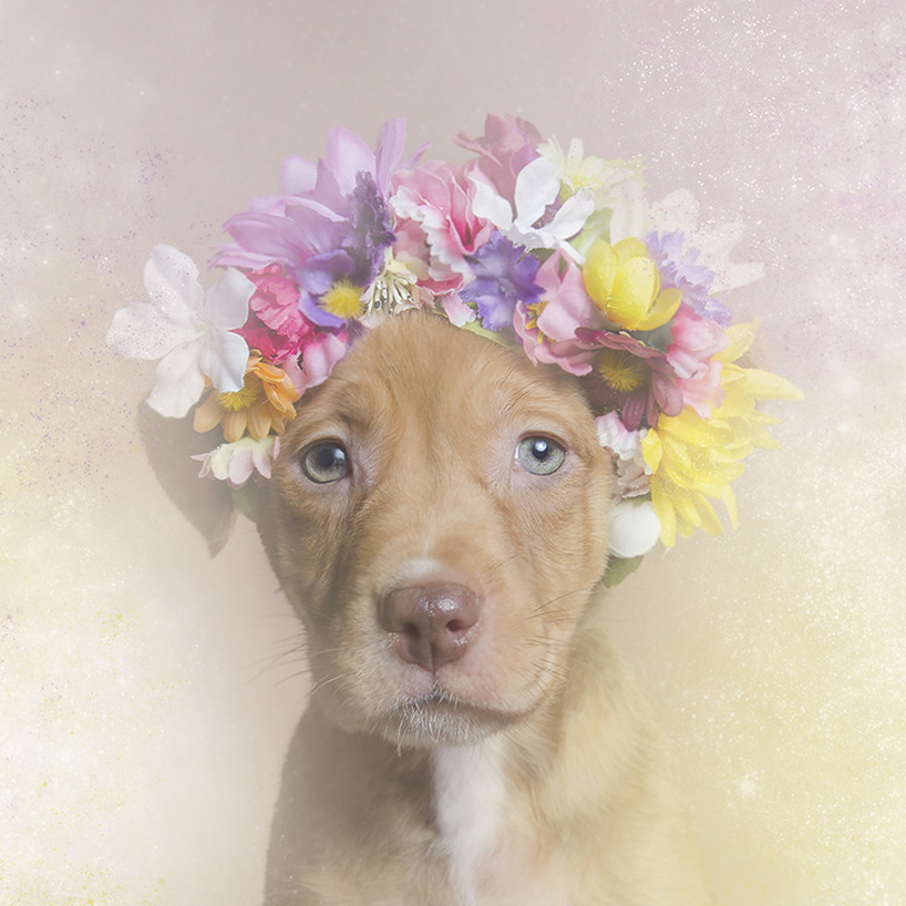 flower-power-pit-bulls-adoptable-dogs-sophie-gamand-2social-05