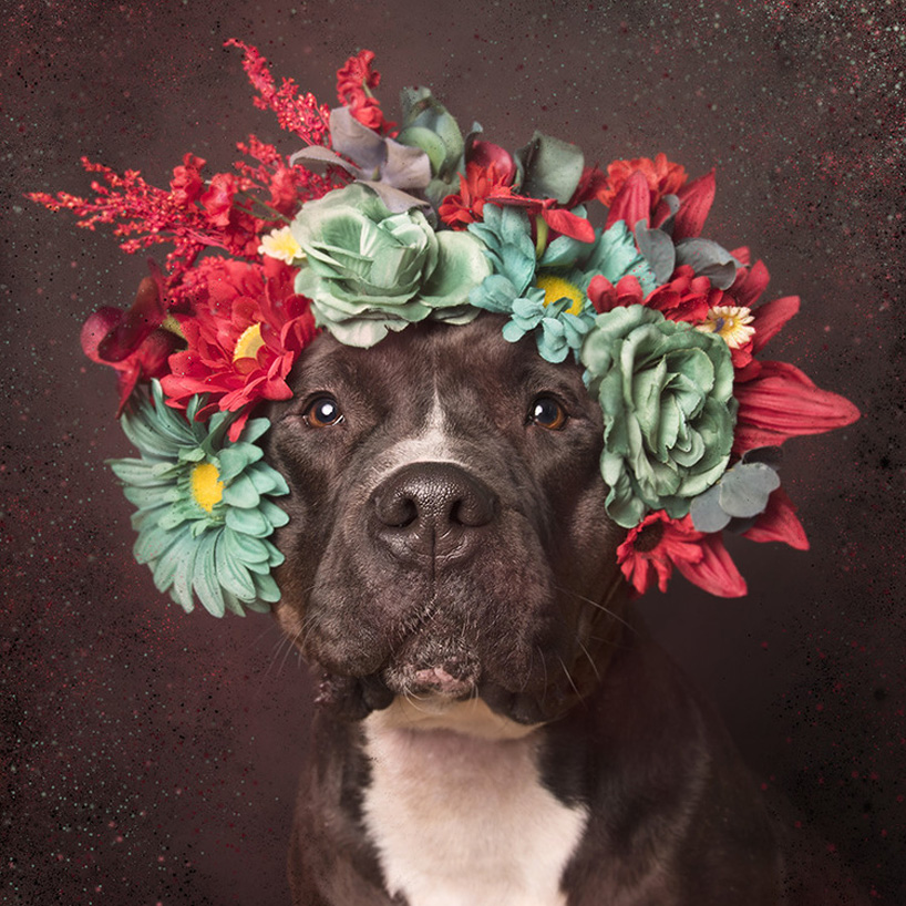 flower-power-pit-bulls-adoptable-dogs-sophie-gamand-2social-06