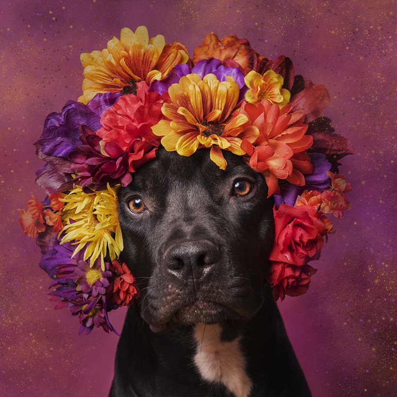 flower-power-pit-bulls-adoptable-dogs-sophie-gamand-2social-07