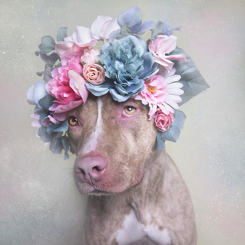flower-power-pit-bulls-adoptable-dogs-sophie-gamand-2social-08