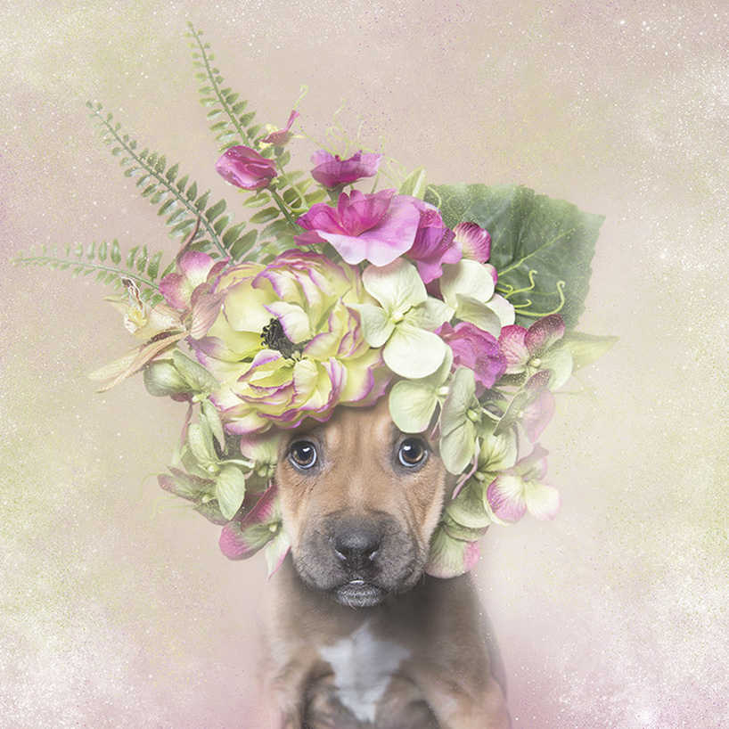 flower-power-pit-bulls-adoptable-dogs-sophie-gamand-2social-10