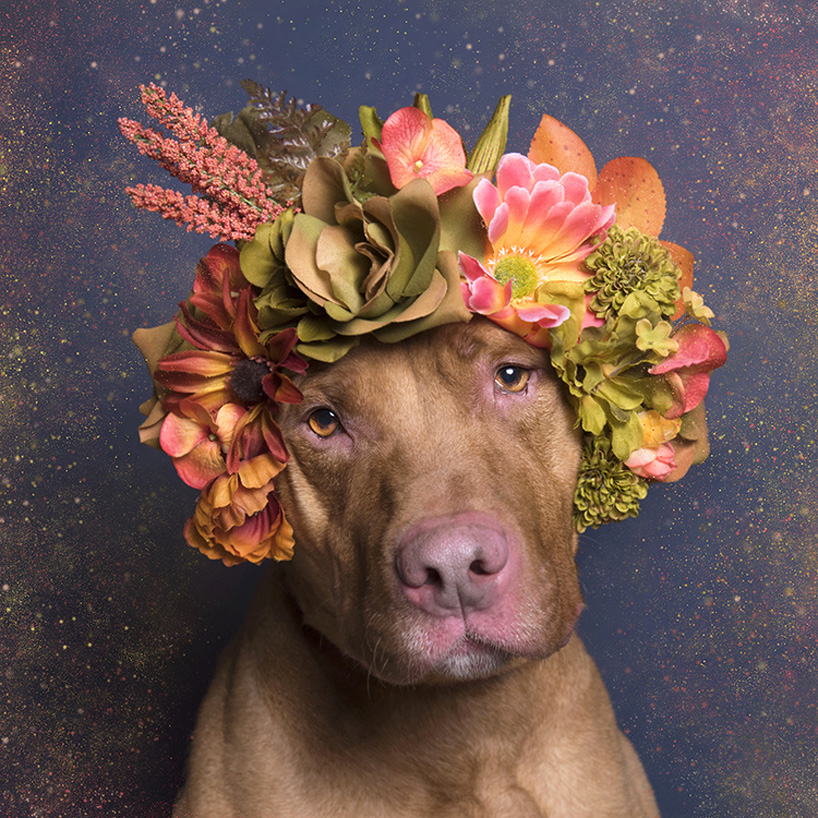 flower-power-pit-bulls-adoptable-dogs-sophie-gamand-2social-12