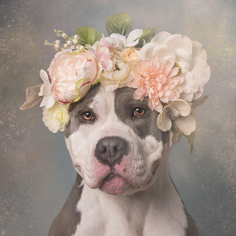 flower-power-pit-bulls-adoptable-dogs-sophie-gamand-2social-15