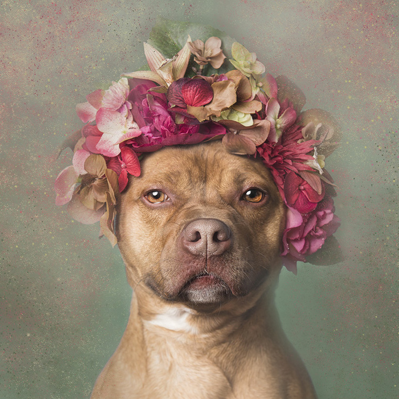 flower-power-pit-bulls-adoptable-dogs-sophie-gamand-2social-17