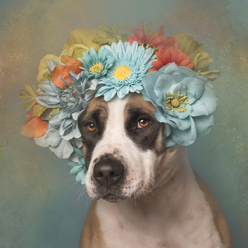flower-power-pit-bulls-adoptable-dogs-sophie-gamand-2social-19